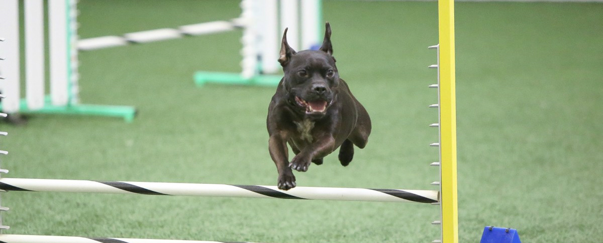 Dog Sporting Events Where Can Your Pitbull Join