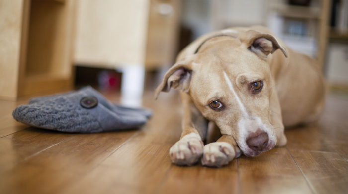 Registering a Pitbull as Emotional Support Animal – What You